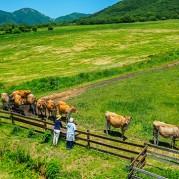8.蒜山高原(ジャージー牛)