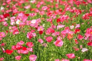 25.笠岡ベイファームの花畑4