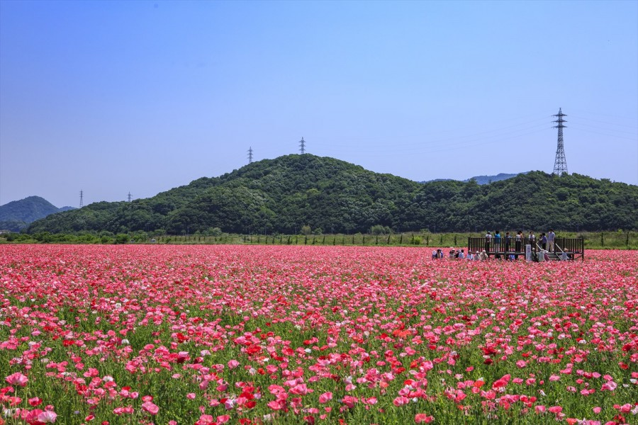 25.笠岡ベイファームの花畑3