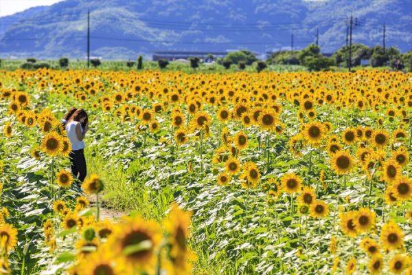 kasaoka_sunflower-900x600
