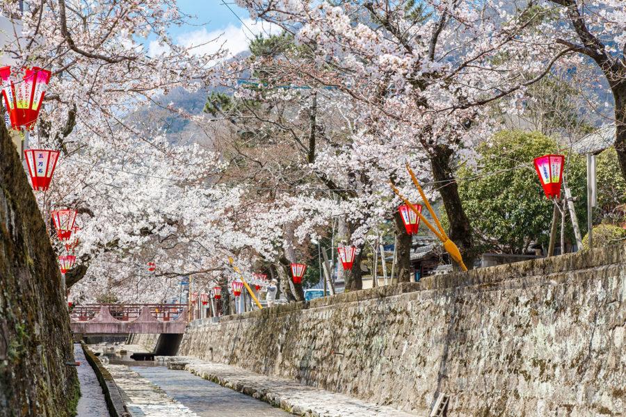 紺屋川の桜1