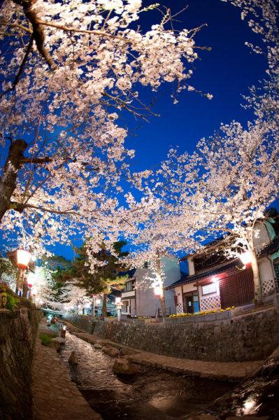 紺屋川の桜2